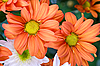 Orange chrysanthemum | Stock Foto