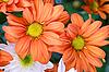 Фото 300 DPI: оранжевые хризантемы