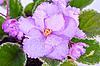 Violet | Stock Foto