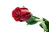 Red rose   Stock Foto
