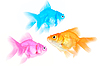 Photo 300 DPI: Three different color fishes