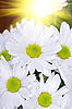 White chrysanthemums | Stock Foto