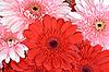 非洲菊花朵 | 免版税照片