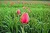Red tulip on green field | Stock Foto