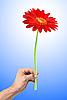 美丽的红色非洲菊人`手 | 免版税照片
