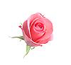 Schöne rosa Rose auf Weiß | Stock Foto