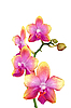 Yellow and pink orchid isolated on white | Stock Foto