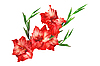 물 방울과 빨간색 아마 릴리스 꽃 | Stock Foto