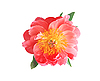 Bright pink peony flower isolated on white | Stock Foto