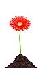 Красивый красный цветок герберы | Фото