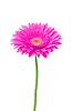 美丽的粉红色的非洲菊花 | 免版税照片