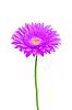 Красивый фиолетовый цветок герберы | Фото
