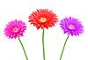 三个美丽的非洲菊花朵 | 免版税照片