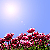 Tulips and blue sky | Stock Illustration