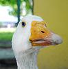 Goose`s head with piece in its beak | Stock Foto
