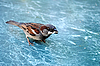 Photo 300 DPI: Sparrow with grit in beak