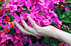 Hand with bunch of flowers of bougainvillea | Stock Foto