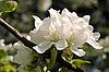 Białe kwiaty jabłoni | Stock Foto