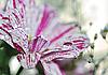 Tropfen Wasser auf einer Blume | Stock Photo