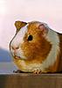 Photo 300 DPI: Guinea pig