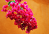 Cluster of pink bougainvillea flowers | Stock Foto
