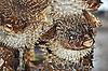 酿鱼。刺猬鱼 | 免版税照片