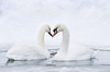 Couple of swans forming heart | Stock Foto