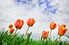 Tulips rising up to sun | Stock Foto