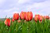 Beautiful tulips growing in field | Stock Foto