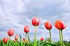 Romantic tulips growing in field | Stock Foto