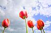 Romantic tulips growing up in sky | Stock Foto