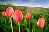 Close-up of beautiful tulips in field | Stock Foto