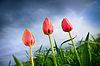 Beautiful tulips growing up in stormy sky | Stock Foto