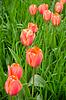 美丽的红色郁金香在外地 | 免版税照片