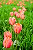 在现场排美丽的红色郁金香 | 免版税照片