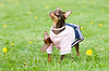 Funny little dog in green grass | Stock Foto
