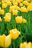Beautiful yellow tulips | Stock Foto