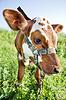 搞笑的牛肖像 | 免版税照片