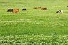 绿色的草坪与牛 | 免版税照片