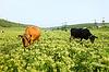 两头牛在牧场 | 免版税照片