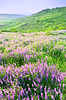 Beautiful landscape with violet flowers | Stock Foto