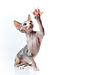 Sphinx kitten, copy-space for text | Stock Foto