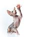 Sphinx kitten, copy-space for text | 免版税照片
