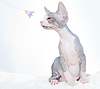 Funny sphinx cat with flower | Stock Foto