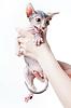 Female hands holding scared sphinx kitten | 免版税照片