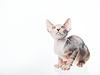 有趣的斯芬克斯猫仰视 | 免版税照片