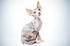 有趣的斯芬克斯猫 | 免版税照片