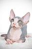Attentive sphinx kitten | Stock Foto