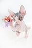 Beautiful sphinx kitten hunting | Stock Foto