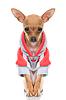 滑稽的小狗,外套 | 免版税照片